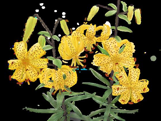Jaguarlilie