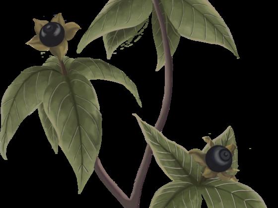 Vierblättrige Einbeere